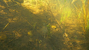European pond turtle (Emys orbicularis) swimming / walking along on the bottom of a pond, France, May.  -  Remi Masson