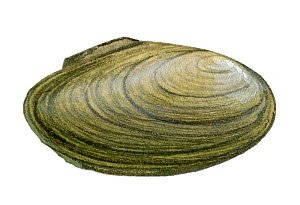 Illustration of Depressed mussel (Anadonta complanata)  -  Chris Shields