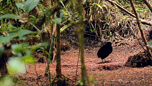 Tracking shot of two male Six plumed bird of paradise (Parotia lawesii) hopping on display ground in a rainforest, Papua New Guinea.  -  Konrad Wothe