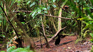 Male Six plumed bird of paradise (Parotia lawesii) preening and displaying, with a female watching nearby, Papua New Guinea.  -  Konrad Wothe
