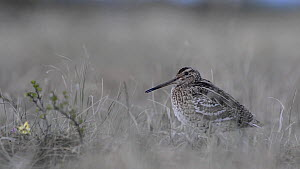 Male Great snipe (Gallinago media) displaying, Roros, Norway, June.  -  Erlend Haarberg