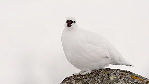 Male Rock ptarmigan (Lagopus muta) yawning, Sarek National Park, Sweden, April.  -  Erlend Haarberg
