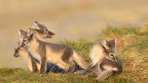 Arctic fox (Vulpes lagopus) pups playing outside their den. Dovrefjell-Sunndalsfjella National Park, Norway, July.  -  Erlend Haarberg