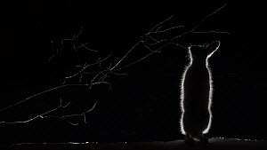 Mountain hare (Lepus timidus) feeding on Goat willow (Salix caprea) at night, Vauldalen, Norway, April.  -  Erlend Haarberg
