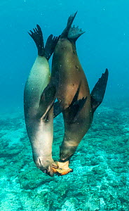 Galapagos sea lions (Zalophus wollebaeki) sub adult males playing with starfish, Mosquera Islet, Galapagos.  -  Tui De Roy
