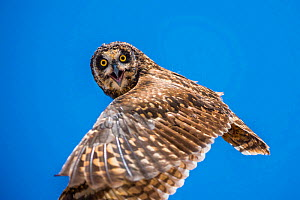 Short-eared owl (Asio flammeus) in flight, Santa Fe Island, Galapagos.  -  Tui De Roy
