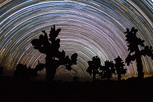 Tree prickly pear (Opuntia echios) trees silhouetted, with star trails behind. Plazas Island, Galapagos.  -  Tui De Roy
