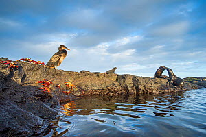 Wildlife on the coast of Cape Hammond including Galapagos flightless cormorant (Phalacrocorax harrisi), Sally lightfoot crab (Grapsus grapsus) and Marine iguana (Amblyrhynchus cristatus) Cape Hammond,...  -  Tui De Roy