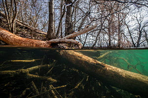 Tree felled by beavers,with marks of their teeth on it, near a beaver lodge, underwater. Vieille Thielle (Alte Zihl), Neuchatel, Switzerland. April. Photographed for The Freshwater Project.  -  Michel Roggo