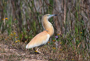 Squacco heron (Ardeola ralloides) collecting nesting material. Los Rodells Nature Reserve, Ebro Delta, Catalonia, Spain,  -  Roger Powell