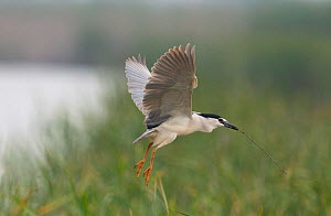 Black-crowned night heron (Nycticorax nycticorax) landing at the reedbed colony with a stick in its beak. Los Rodells Nature Reserve, Ebro Delta, Catalonia, Spain  -  Roger Powell