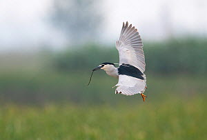 Black-crowned night heron (Nycticorax nycticorax) in flight with a stick in its beak & showing head plumes. Los Rodells Nature Reserve, Ebro Delta, Catalonia, Spain  -  Roger Powell