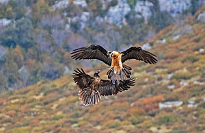 Two Bearded Vultures / Lammergeiers (Gypaetus barbatus). Immature male engaged in early courtship display with an adult female. Immature Bearded Vultures engage in courtship for up to two years before...  -  Roger Powell