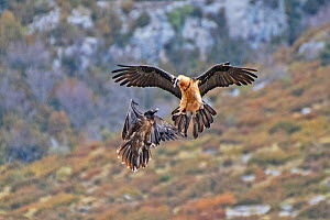 Two Bearded Vultures / Lammergeiers (Gypaetus barbatus). Immature male engaged in early courtship display with an adult female, Valle de Puertolas, Aragon, Spanish Pyrenees  -  Roger Powell