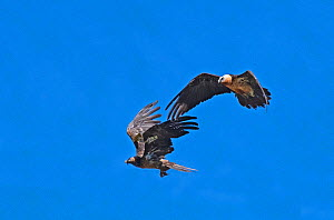 Two Bearded Vultures / Lammergeiers (Gypaetus barbatus). Immature male engaged in early courtship display with an adult female.  Valle de Puertolas, Spanish Pyrenees  -  Roger Powell
