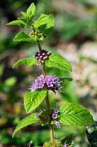 Corn mint (Mentha arvensis) Ranscombe Farm Nature Reserve, Kent, England, July.  -  Linda Pitkin