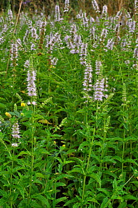 Spearmint (Mentha spicata), Manor Farm, Byfleet, Surrey, England, August.  -  Linda Pitkin