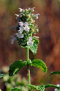 Cat-mint (Nepeta cataria), locally rare plant,  Langley Vale Wood), Surrey, England, August. Vulnerable species in England.  -  Linda Pitkin