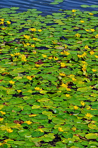 Fringed water-lilies (Nymphoides peltata), locally rare plant, Spynes Mere Nature Reserve (SWT), Merstham, Surrey, England, July.  -  Linda Pitkin