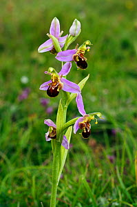 Bee orchid (Ophrys apifera) Surrey, England, June .  -  Linda Pitkin