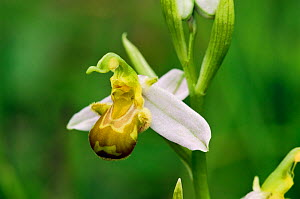 Bee orchid (Ophrys apifera), white variety, East Sussex, England, June.  -  Linda Pitkin