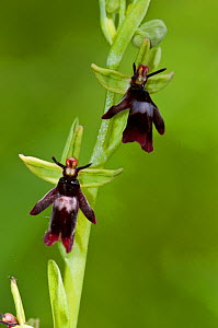 Fly Orchid (Ophrys insectifera), locally rare plant, Fames Rough (SWT Nature Reserve), Chipstead Downs SSSI, Surrey, England, May. Vulnerable.  -  Linda Pitkin