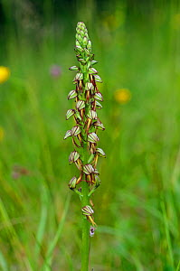 Man orchid (Orchis anthropophora), locally rare,  at foot of Box Hill, Surrey, England, May. Endangered in England.  -  Linda Pitkin