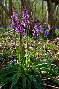 Early-purple orchid (Orchis mascula), in woodland  Frylands Wood, Surrey, England, April.  -  Linda Pitkin