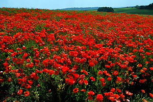 Common poppies (Papaver rhoeas) in field,  Chicklade, Wiltshire, England, July.  -  Linda Pitkin