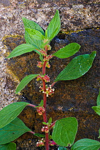 Pellitory-of-the-wall (Parietaria judaica)  Molesey Cemetery, West Molesey, Surrey, England, May.  -  Linda Pitkin