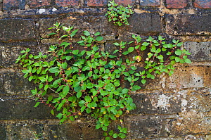 Pellitory-of-the-wall (Parietaria judaica)  Molesey Cemetery, Surrey, England, May.  -  Linda Pitkin