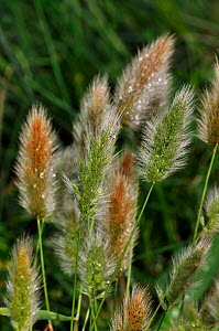 Annual beard-grass (Polypogon monspeliensis), locally rare plant, Thursley National Nature Reserve, Surrey, England, August.  -  Linda Pitkin