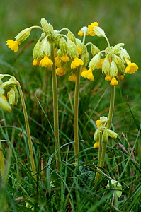 Cowslips (Primula veris) Howell Hill SWT Nature Reserve, Surrey, England, April.  -  Linda Pitkin