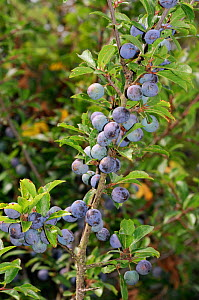 Blackthorn (Prunus spinosa) fruit / berries, Kent, England, August.  -  Linda Pitkin