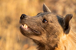 Close up of a Brown hyaena (Parahyaena brunnea), Private reserve, Namibia. September. Captive  -  Sylvain Cordier