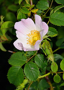 Dog-rose (Rosa canina) Papercourt Marshes nature reserve (SWT), Send Marsh, Surrey, England, May 2014.  -  Linda Pitkin