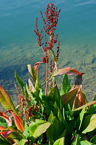 Water dock (Rumex hydrolapathum),  Canada Water, Rotherhithe, Surrey, England, August.  -  Linda Pitkin
