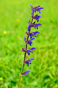 Meadow Clary (Salvia pratensis), a rare plant in Surrey, and Near Threatened on the Vascular Plant Red Data List for England.  Colley Hill, Surrey, England, June  -  Linda Pitkin