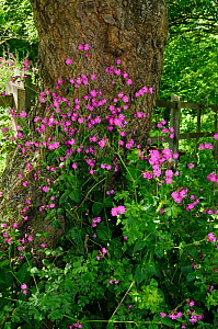 Red Campion (Silene dioica) Runnymede (NT), Surrey, England, May.  -  Linda Pitkin