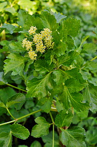 Alexanders (Smyrnium olusatrum), growing on roadside verge. Locally rare plant. Betchworth, Surrey, England, May.  -  Linda Pitkin