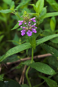 Marsh woundwort (Stachys palustris) River Wandle, Surrey, England, August.  -  Linda Pitkin