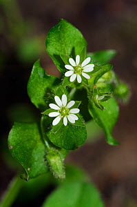 Common chickweed (Stellaria media) The Ledges, Esher Common SSSI, Surrey, England, May.  -  Linda Pitkin