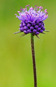 Devil's-bit scabious (Succisa pratensis) Old Stores Nature Reserve, Surrey, England, August.  -  Linda Pitkin