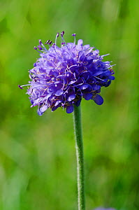 Devil's-bit scabious (Succisa pratensis) road verge by Hilltop, Kenley Common, Surrey, England, August.  -  Linda Pitkin