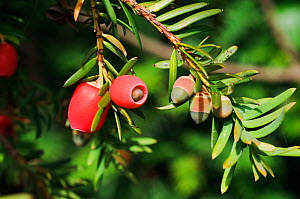 Yew (Taxus baccata), mature and immature berries (arils), Polesden Lacey NT, Surrey, England, October.  -  Linda Pitkin