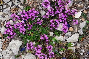 Wild thyme (Thymus polytrichus) King Barrow Quarries DWT Nature Reserve, Portland, Dorset, England, July.  -  Linda Pitkin