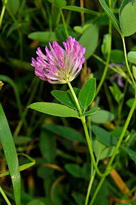 Zigzag clover (Trifolium medium), Windsor Great Park, Surrey, England, July.  -  Linda Pitkin