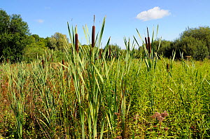 Bulrush / Reedmace (Typha latifolia),  Riverside Park Local Nature Reserve, Surrey, England, September 2015.  -  Linda Pitkin
