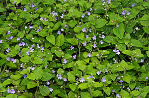 Wood speedwell (Veronica montana) Ashplats Wood, West Sussex, England, May.  -  Linda Pitkin
