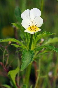 Field Pansy (Viola arvensis) Papercourt Marshes nature reserve (SWT), Send Marsh, Surrey, England, May.  -  Linda Pitkin